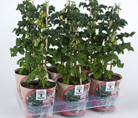 Greenzer tomatenplanten
